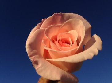 rose-pink-against-blue-sky-jd