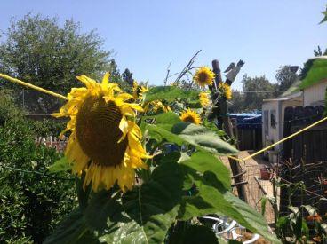 dbmera sunflowers s