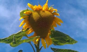 sunflower of love