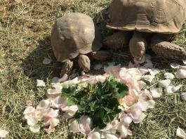tortoises and rose petals